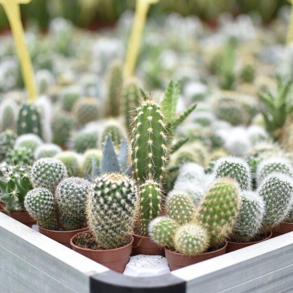 piante-grasse-bonsai-sassari